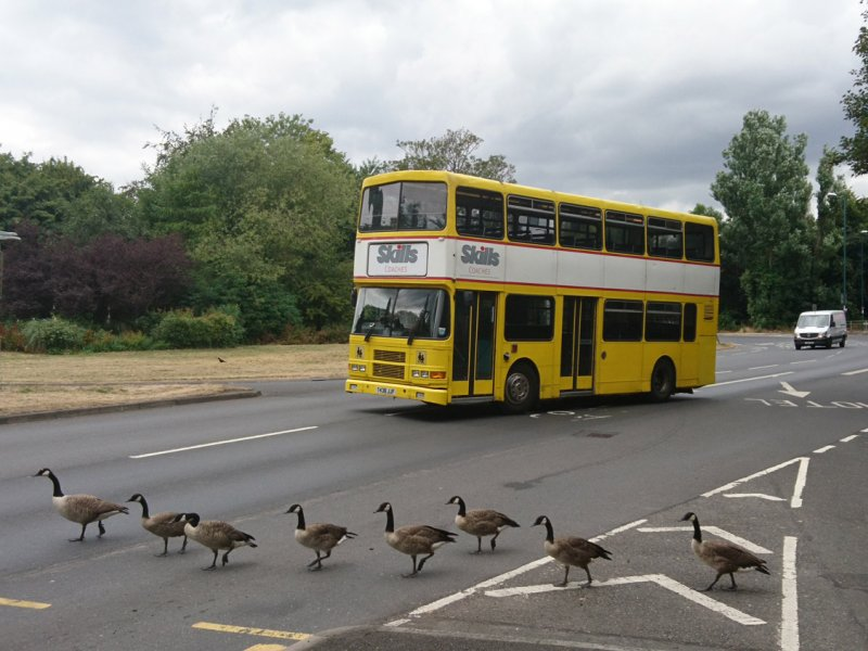 """Hero Coach Driver Saves """"Quackers"""" Geese With Super Driving Skills"""